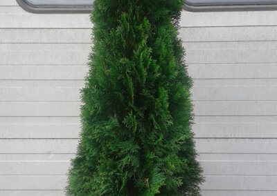 Thuja occidentalis 'Smaragd' 175-200 cm.