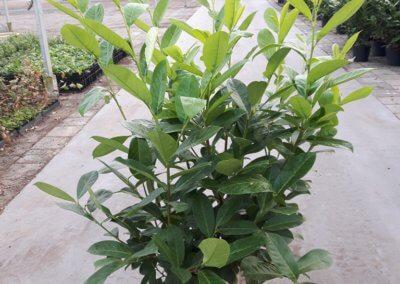 Prunus Laurocerasus Rotundifolia 7,5 Ltr. 100-125 cm.