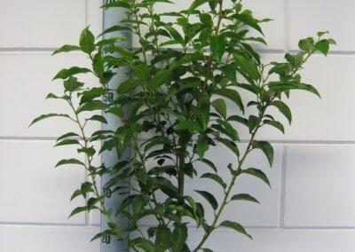 Prunus Lusitanica Angustifolia 3 Ltr. 50-60 cm.