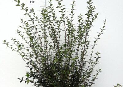 Osmanthus Burkwoodii 80-100 cm.