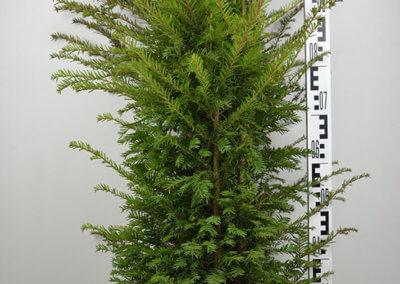 Taxus Baccata 100-125 cm.