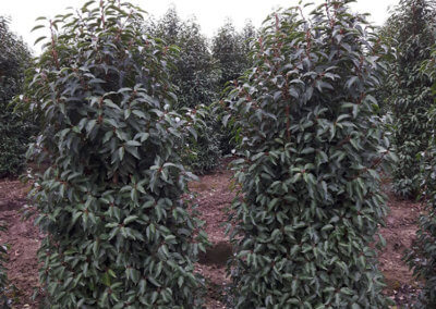 Prunus lusitanica 'Angustifolia' 150-175 cm.