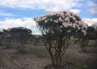 Rhododendron 'Jacksonii' 200-250 cm.