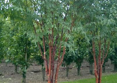 Prunus serrula 'Branklyn' 350-400 cm.