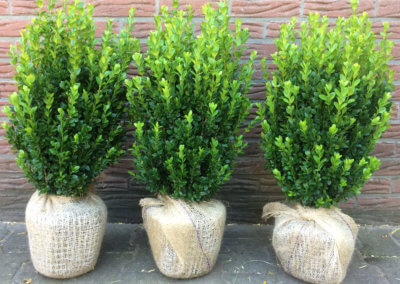 Buxus Sempervirens Select 50-60 cm.