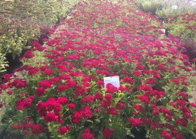 Achillea millefolium 'Tutti Frutti Pomegranate' 2 Ltr.