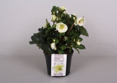 Helleborus Winter Angels 1,3 Ltr.