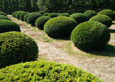 Taxus Baccata domes 100-120 cm.
