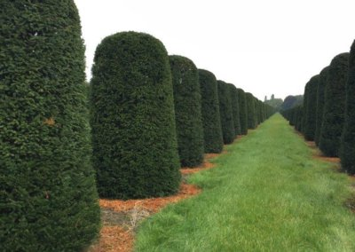 Taxus Baccata beehive 240 cm