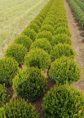 Taxus Baccata bol 40 met kluit