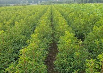 Prunus lusitanica Angustifolia 80:100 met kluit - EXTRA BREED